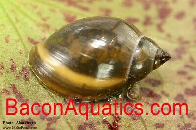 Black Ramshorn and 2 Tadpole snail Tropical or Cold water with 3 Aquatic Plants