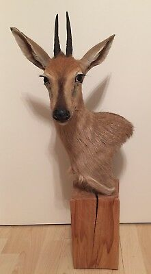 Common Duiker Präparat (Kronenducker) in Podestal - Trophäe - Taxidermy - Jagd