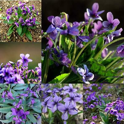 1 Pack Viola Philippica Seeds Garden Balcony Potted Plants Flowering EA9