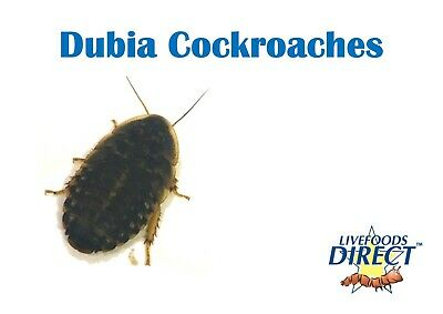 Dubia roaches Medium Tub of 10 Livefoods Direct Reptile Food Treat Insects Live