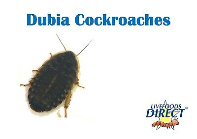 20 Medium Dubia roaches MaxiPack reptile food live insects livefoods Direct