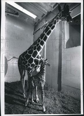 1971 Press Photo Dorothy the 14th giraffe born at Milwaukee County Zoo.
