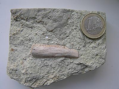 Placa con Hueso de Nothosaurus y Encrinus Liliformis NOTHOSAURUS  BONE IN MATRIX