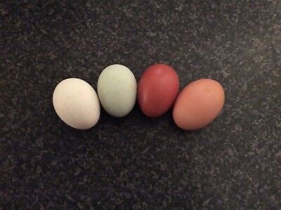 HATCHING EGGS X 6 SPECIAL MIX OF PURE BRED /  various large fowl