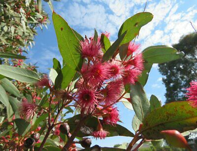 Large-Fruited Blue Gum Seed Small Tree Drought Lime Frost OK Erosion Control
