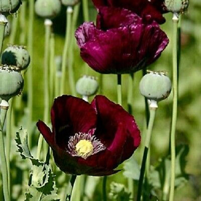 Poppy 'Lauren's Grape / Papaver  / Annual Poppy / New Colour / 600 seeds