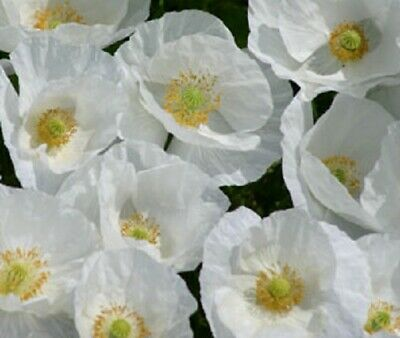 Poppy 'Bridal Silk' / Papaver rhoeas / Annual Poppy / 500 seeds