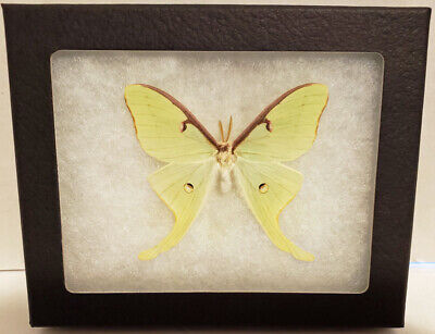 "Real Framed Butterfly , DWARF Actias Luna ""Luna Moth"" in Riker Mount ."