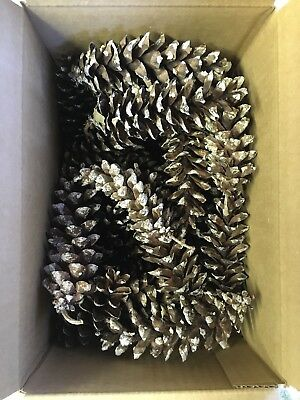 Organic Dry Pine Cones, Large, Eastern White Pine, Approx. 30 Count