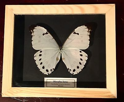 Real Framed Butterfly Morpho luna Taxidermy Insects