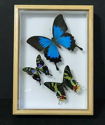 Real Framed Butterfly Papilio ulysses, Graphium weiskei, Urania ripheus