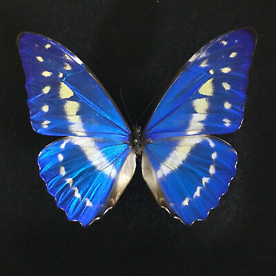 Real Framed Butterfly - morpho cypris - Taxidermy Insects