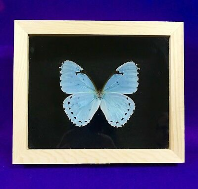 Real Framed Butterfly - morpho catenaria - Taxidermy Insects