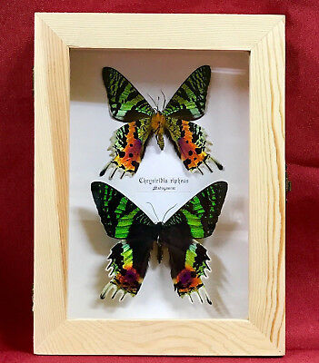 """Real Framed Butterfly Pair Urania Ripheus """"Sunset Moth"""" Taxidermy Insects"""