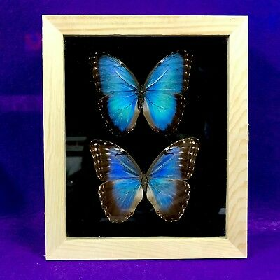 Real Framed Butterfly Pair morpho helenor montezumaTaxidermy Insects