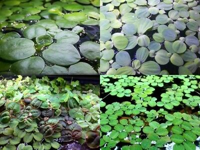 Salvinia, Frogbit, Dwarf Water Lettuce, Red Root Floating Plants Pack Aquatic