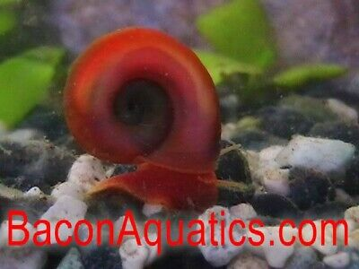 Red Ramshorn and 2 Tadpole snail Tropical or Cold water with 3 Aquatic Plants