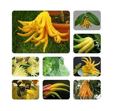 2014 10Pcs Citron Arbre Indoor Heirloom Fruits Graines Accueil Jardin Rare E