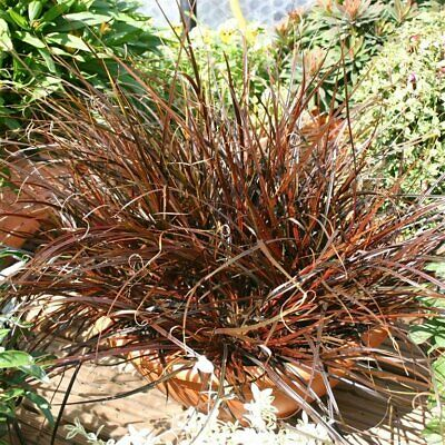 Uncinia uncinata rubra Red hook sedge grass Young plant 9cm Pot  Evergreen