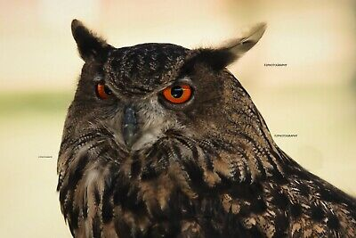 Photo wallpaper digital picture free worldwide email delivery,Eurasian eagle-owl