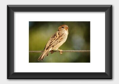 Sparrow Bird Or True Sparrow On A Branch Nature Poster