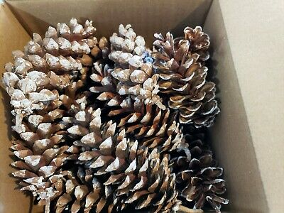 "Eastern White Pine Cones, 3"" - 6"", (Qty 25-30), Christmas crafts wedding holiday"