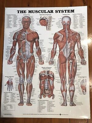 Laminated Muscular System Poster (66X51Cm) Anatomical Chart Human Body Anatomy