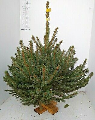 Real Christmas Tree on wooden base; Blue Spruce; 60-80cm tree (~3ft)