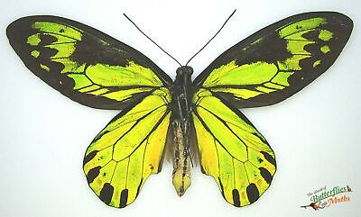 A2 entomology Ornithoptera chimaera charybdis  SET x1 PAIR REAL Butterflies A