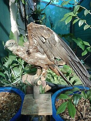Vintage Taxidermy Hawk Buzzard Bird