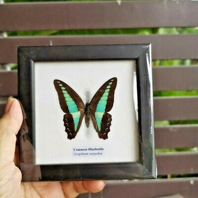 Common Bluebottle Butterfly Real Taxidermy Insect Framed Picture Entomology