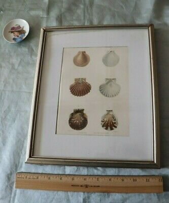 """Antique French Sea Shell Hand Painted Lithograph Includes Frame~L-13""""X W-11""""*"""