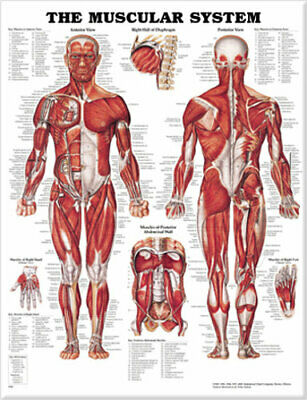 NEW The Muscular System Anatomical Chart Paper Unmounted Wallchart Free Shipping