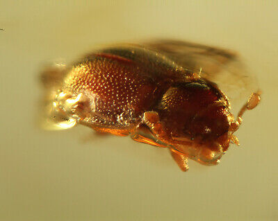 Baltic Amber Inclusion 5543 Endomychidae Beetle Coleoptera Fossil Insect Rare
