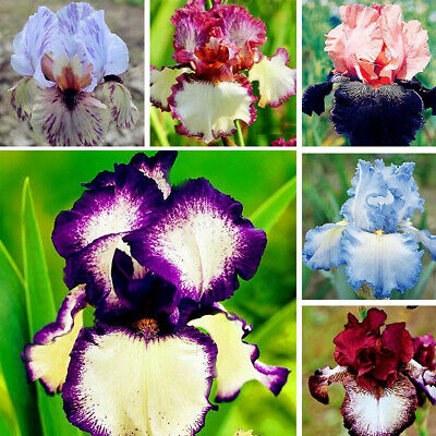 40 Seeds Licuala Cordate Rare Round Mellow Leaves Perennial  tropical Plants