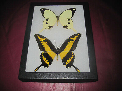"""2 large real mounted butterflies framed 6x8"""" riker  mount collection #lepid 11a"""