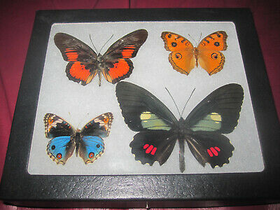 "4 real mounted butterflies framed 5x6"" riker  mount collection #lepid a1a4"