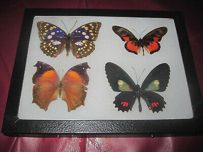 "4 real mounted butterflies framed 6x8"" riker  mount collection #lepid b1a1"