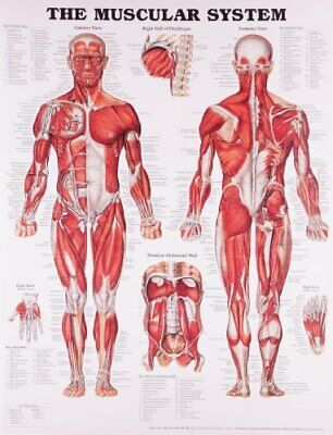 The Muscular System Anatomical Chart - The Muscular System Anatomical Chart
