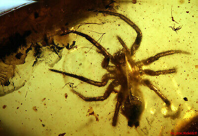 Baltic Amber Inclusion 5583 Spider, Very nice Araneae, Inkluze, Fossil Insect