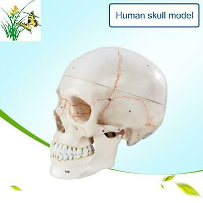1:1 Human Skull Replica Resin Model Medical Realistic White Decoration