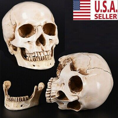 1:1 Realistic Retro Human Skull Replica Resin Model Medical Art Teach USA