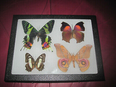 "4 real mounted butterflies framed 6x8"" riker  mount collection #misc 12"