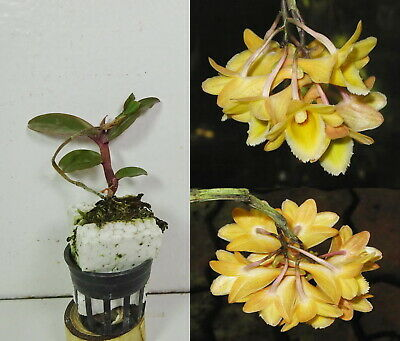 Potted DENDROBIUM LAMPONGENSE, Orchid Plant, Rare, Yard, Garden