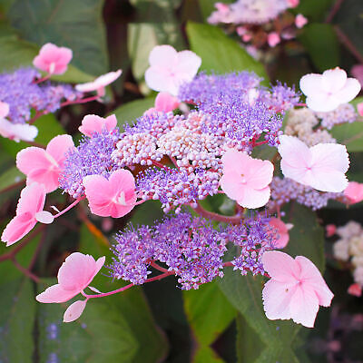 Hydrangea aspera 'Hot Chocolate' Deciduous Flowering Outdoor Garden Shrub