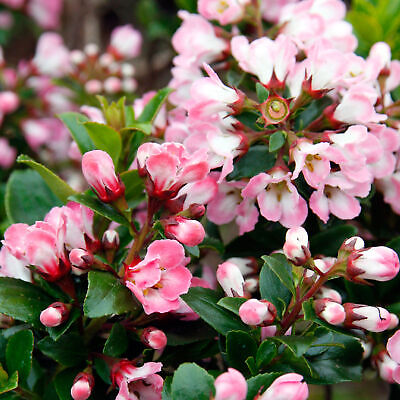 Escallonia 'Apple Blossom' Hardy Evergreen Flowering Potted Outdoor Garden Shrub