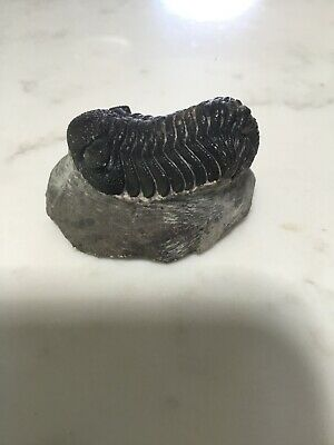 Fossil Trilobite - Phacops