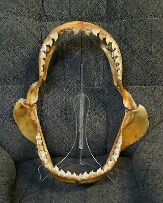 "Xxxl Tiger Shark Jaws 21"" X 19"" Taxidermy Teeth Tooth Jaw Skull Bones Large Real"