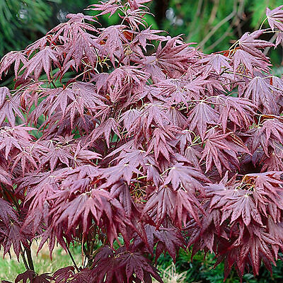 Acer palmatum 'Atropurpureum' | Japanese Maple Deciduous Garden Plant In Pot