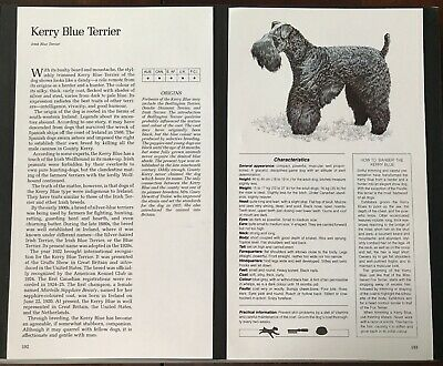 KERRY BLUE TERRIER Dog Breed Description